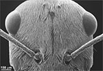 A scanning electron microsocope (SEM) view of the Saharan silver ant's head densely covered in hairs. (Norman Nan Shi and Nanfang Yu, Columbia Engineering)