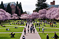 UW campus with students and blooming cherry trees