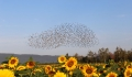 The murmuration whisperer