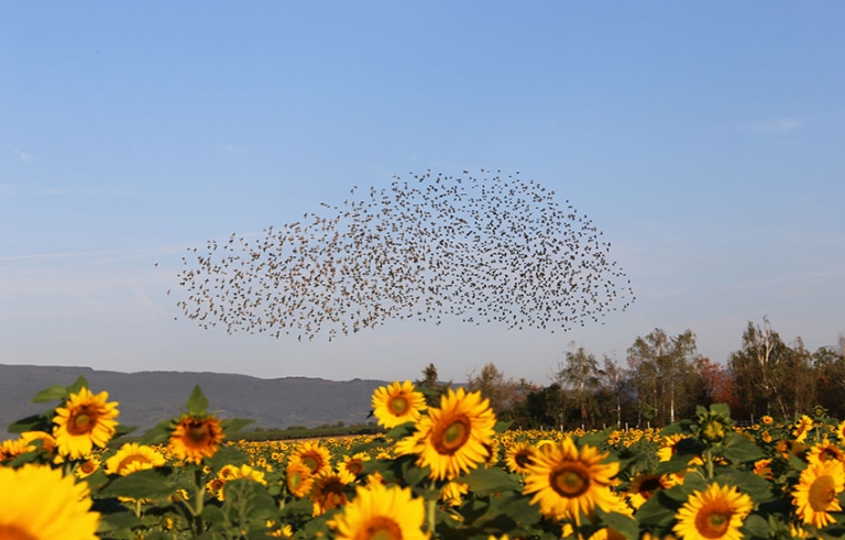 a swarm of birds in the sky over a field of sunflowers