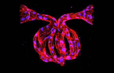 microvasculature 3D structure