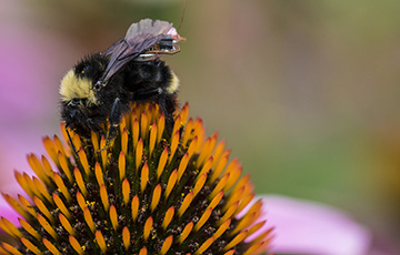 bee with a sensor attached