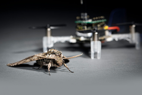 A moth in rest in front of a drone