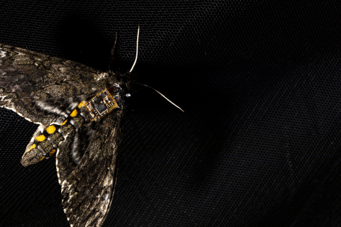 A moth with a sensor chip on its back