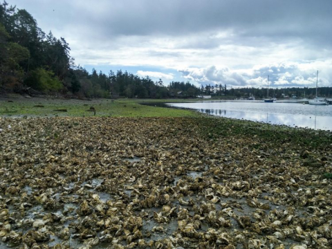 oysters on beach
